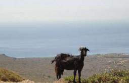 Native Wildlife  - Wild goat of Kythera