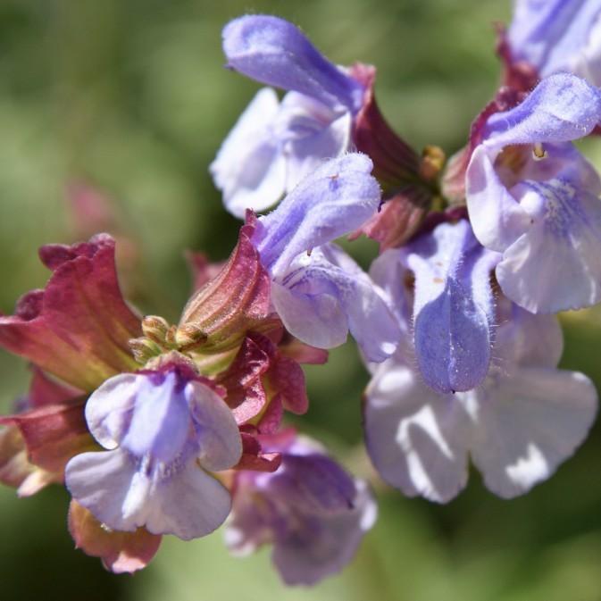 Springtime purple sage flowers