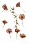 Pink Convolvulus