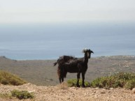 Native Wildlife  - Wild goat of Kythera