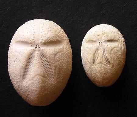 Heart Urchins