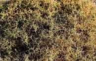 Honeycomb weed