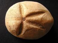 Large Heart Urchin