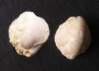 Brachiopod, two views