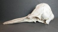 Small Dolphin Skull, side view