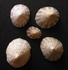 Rustic Limpets