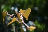 Heart shaped thorny vine leaf