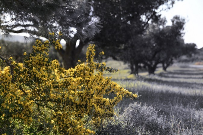 Thorns in full blossom with olive trees