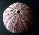 Violet Sea Urchin