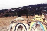 Donkey, with saddles. Karavas. 1994.
