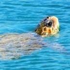 Turtle at Avlemonas