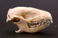 Hedgehog Skull