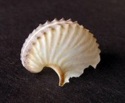 Brown Paper Nautilus