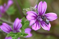 Spring flowers and honey bees