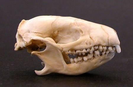 Hedgehog Skull