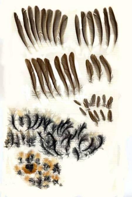 European Robin feathers
