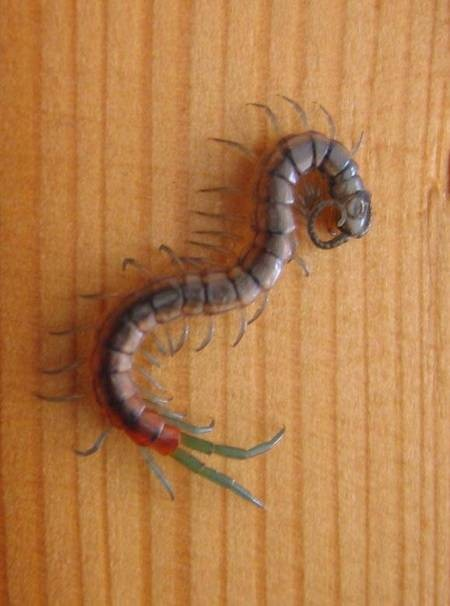Blue-legged Scolopendra