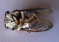 Cicada, underside
