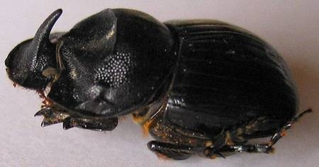 Cresent-horned Beetle