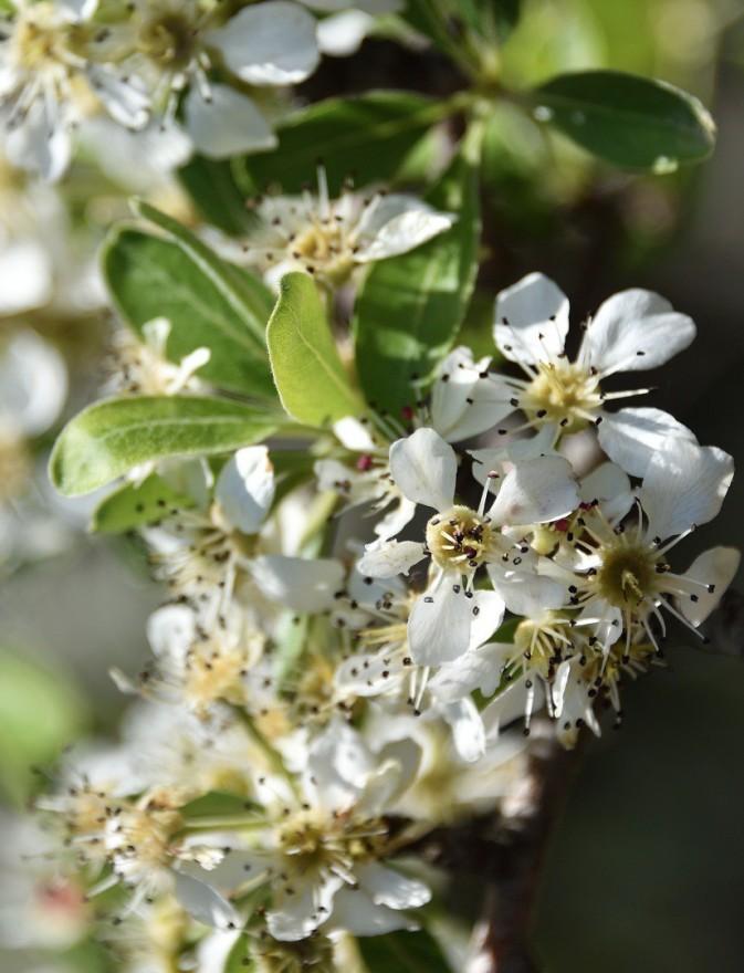 Springtime blossoms on Kythera