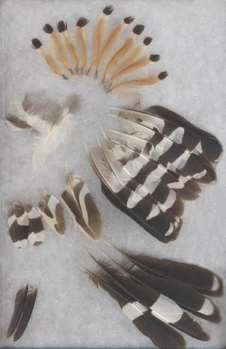 Hoopoe feathers