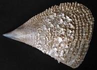 Large Fan Mussel