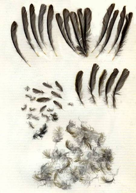 Great Tit Feathers