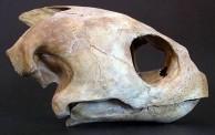 Loggerhead Turtle Skull