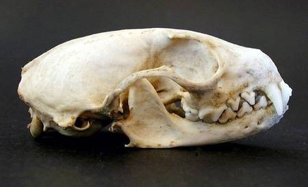 Marten Skull