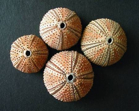Black Sea Urchins