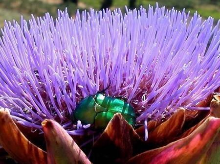 Rose beetle