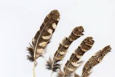 Feathers of Scops owl, <i>Otus scops</i>. 