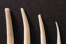 The Tusk Shell, <i>Dentalium vulgare</i>, is a member of the Class Scaphopoda, characterized by a long, narrow shell that opens at both ends. Scaphopods bury themselves in the mud in deep water, and can be found washed up on the beach after a storm. Over 300 species of Tusk Shell exist. These...